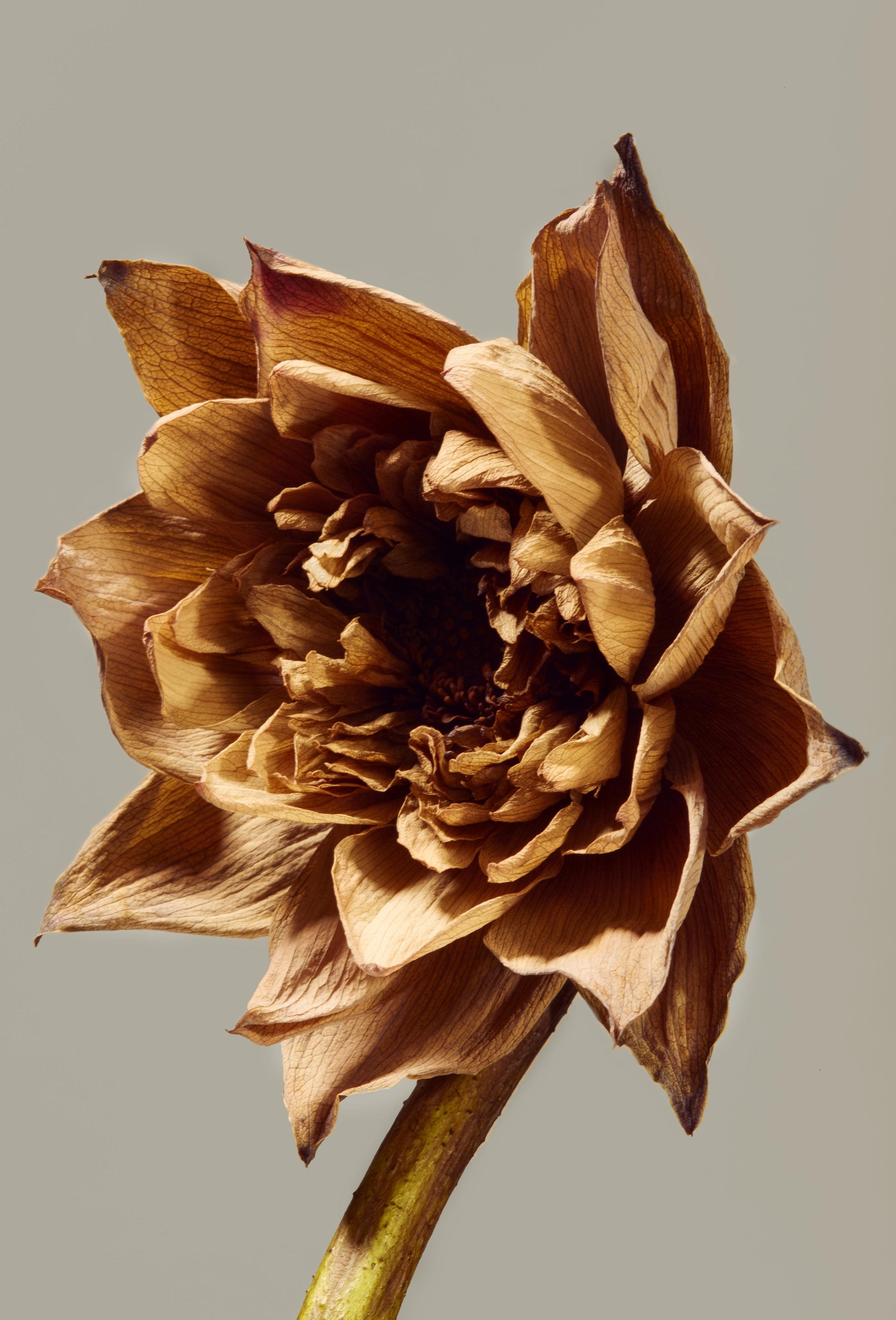 Dry lotus for flora series