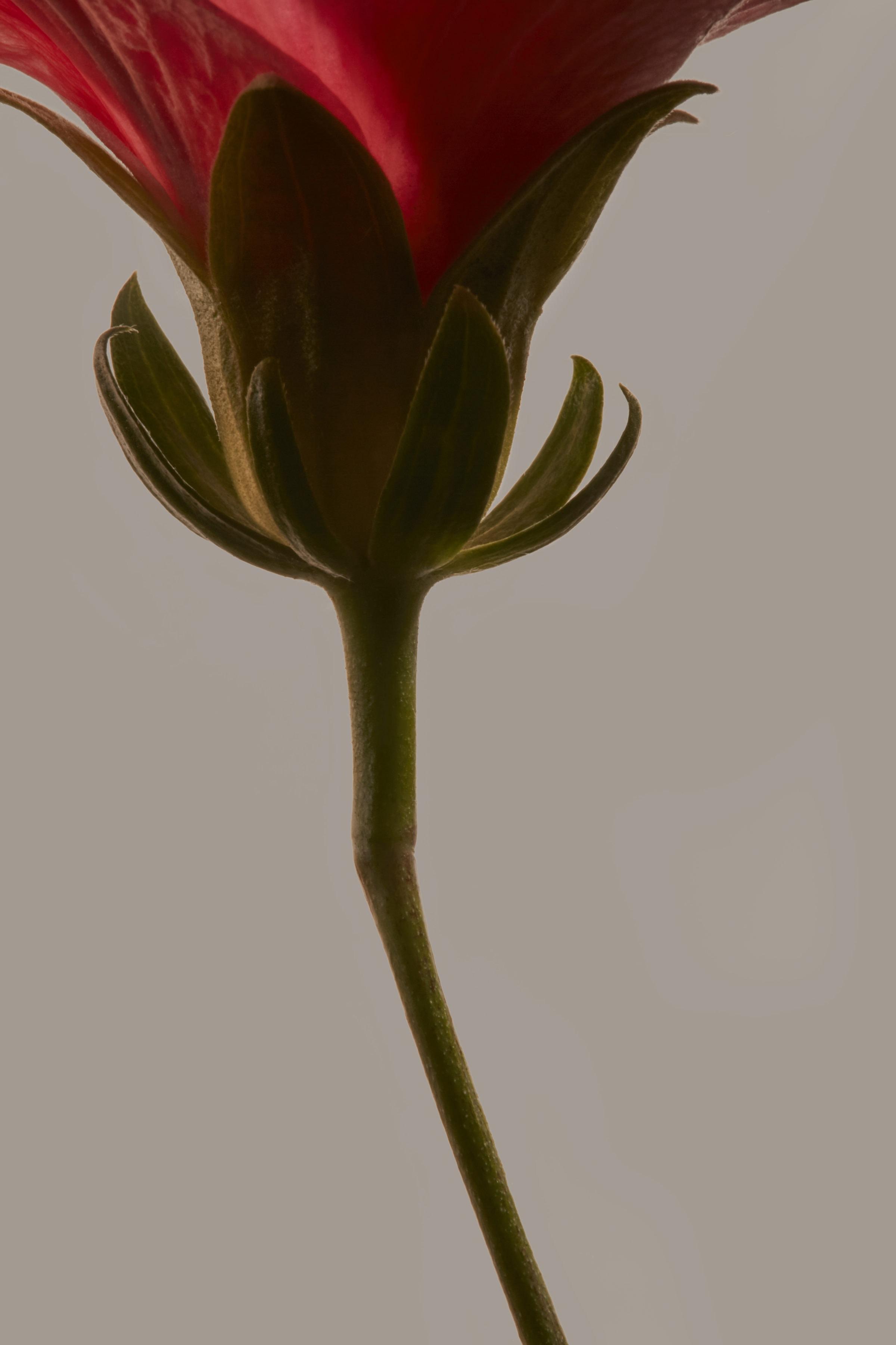 Hibiscus for Flora